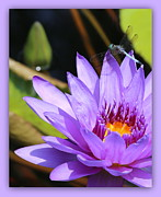 Water Gardens Framed Prints - Sweet Dragonfly on Purple Water Lily Framed Print by Carol Groenen