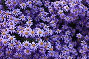 Sweet Dreams Of Purple Daisies Print by Carol Groenen