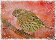 Debbie Portwood - Sweet Female House Finch...