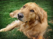 Dogs Photos - Sweet Golden Retriever by Larry Marshall