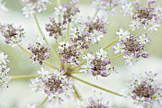 Daucus Prints - Sweet Lace Print by Jacky Parker