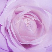 Mauve Roses Photo Acrylic Prints - Sweet Lilac Acrylic Print by Sharon Lisa Clarke