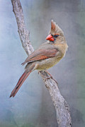Female Northern Cardinal Posters - Sweet Little Lady Redbird Poster by Bonnie Barry