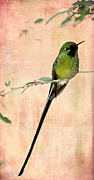 Long Tail Prints - Sweet Long Tailed Hummingbird Print by Sabrina L Ryan
