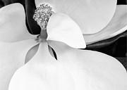 Sabrina L Ryan - Sweet Magnolia Blossom