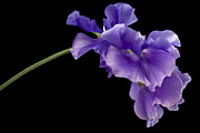 Nature Study Photo Posters - Sweet Pea Study Poster by Anne Gilbert