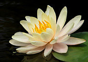Hawaiian Pond Prints - Sweet Peach Water Lily Print by Sabrina L Ryan