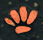 Sweet Potato Dog Paw By Sharon Cummings Print by Sharon Cummings