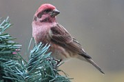 Red Finch Originals - Sweet Red by JoAnn Stafford