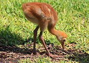Baby Bird Photos - Sweet Sandhill Crane Chick by Carol Groenen