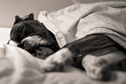 In Bed Photo Prints - Sweet Sleeping Boxer Print by Stephanie McDowell