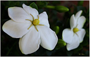 Gardenias Photos - Sweet Smell OF Gardenias / Flowers by James C Thomas