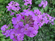 Phlox Originals - Sweet Smelling Damesrocket Wild Flower by Elisabeth Ann