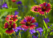 Gaillardia Photos - Sweet Summer  by Saija  Lehtonen