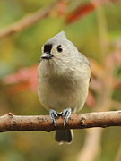 Ellen Ryan - Sweet Tufted Titmouse
