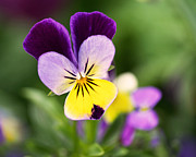 Pansy Photos - Sweet Violet by Rona Black