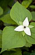 Shari Jardina - Sweet White Trillium