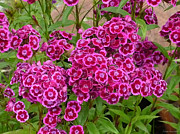 Short-lived Perennial Photos - Sweet William by Tresa Burnett