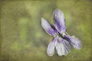 Steppeland - - Sweet Wood Violet