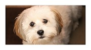 Cute Havanese Prints - Sweetest Puppy Dog Eyes Print by Barbara Griffin