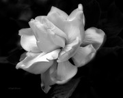 Gardenias Photos - Sweetest Romance by Michelle Wiarda