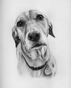 Retriever Drawings - Sweetheart by Natasha Denger