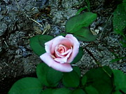 Saywood Samen - Sweetheart Rose