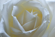 White Roses Originals - Sweetheart. by Terence Davis