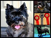 Cairn Terrier Photos - Sweetpea And Her Ribbons by Jay Milo