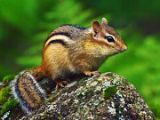 Eastern Chipmunk Photos - Sweetpea Poses by ABeautifulSky  Photography