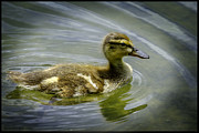 Background Photos - Swimmin ducky by LeeAnn McLaneGoetz McLaneGoetzStudioLLCcom