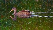 Nick  Biemans - Swimming duck