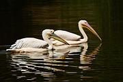 Nick  Biemans - Swimming Pink Pelicans