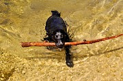Dog With Stick Posters - Swimming Springer Poster by Kristina Deane