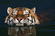Nick  Biemans - Swimming Tiger