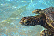 Amanda Eberly-Kudamik - Swimming Turtle