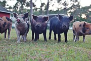 Wibada Photo Prints - Swine Line Print by Lynda Dawson-Youngclaus