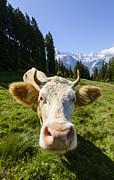 Swiss Cow Print by Oscar Gutierrez