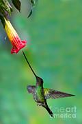 Sword-billed Hummingbird Print by Anthony Mercieca
