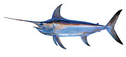 Black Marlin Framed Prints - Swordfish Framed Print by Carey Chen
