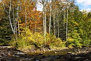 American Sycamore Prints - Sycamore Grove Williams River  Print by Thomas R Fletcher
