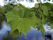 Waccamaw River Prints - Sycamore Leaves by the Waccamaw Print by MM Anderson