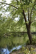 Waccamaw River Prints - Sycamore Tree by the Waccamaw Print by MM Anderson