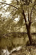 Waccamaw River Prints - Sycamore Tree by the Waccamaw Sepia Print by MM Anderson