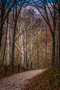 Indiana Autumn Posters - Sycamores In Autumn Poster by David Danz