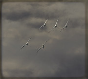 Flock Of Flying White Pelicans Prints - Synchronized Flight Print by Thomas Young