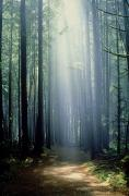 Featured Metal Prints - T. Bonderud Path Through Trees In Mist Metal Print by First Light