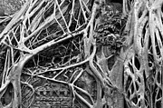 Strangler Fig Metal Prints - Ta Prohm Roots And Stone 07 Metal Print by Rick Piper Photography