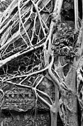 Strangler Fig Metal Prints - Ta Prohm Roots And Stone 08 Metal Print by Rick Piper Photography