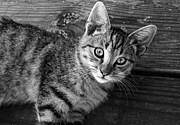 Kitten Prints Prints - Tabby black and white Print by Darlene Konieczny